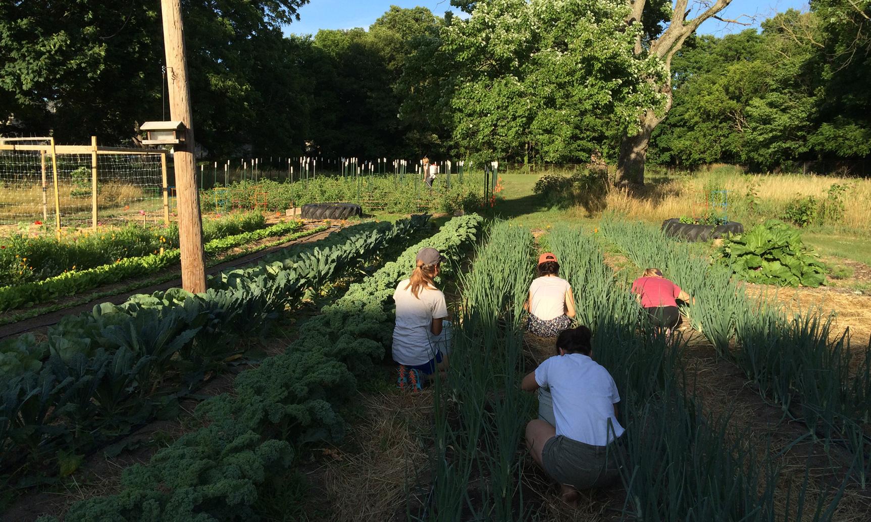 Hussagram: Weeding onions